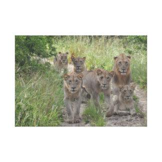 Lion pride on dirt road canvas print
