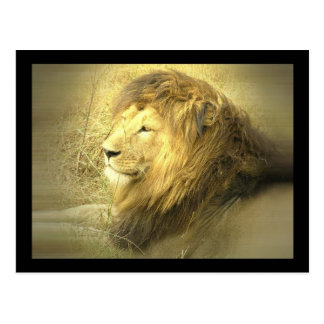 Lion Pride Postcard