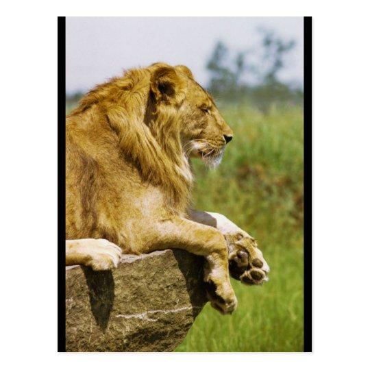 Lion Profile Postcard