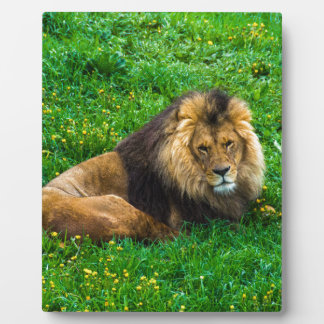 Lion Relaxing in Green Grass Photo Plaque