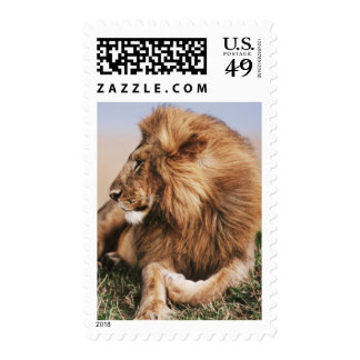 Lion resting in grass postage