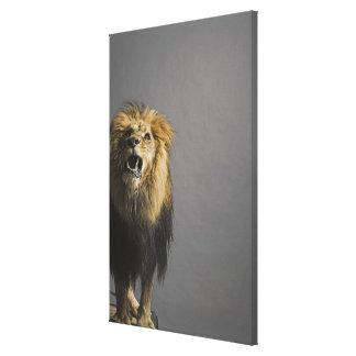 Lion roaring canvas print