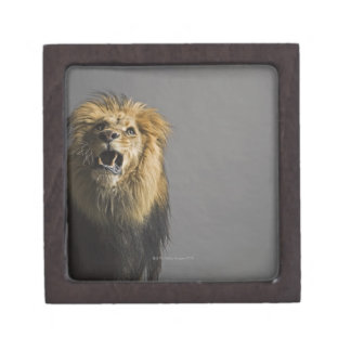 Lion roaring keepsake box