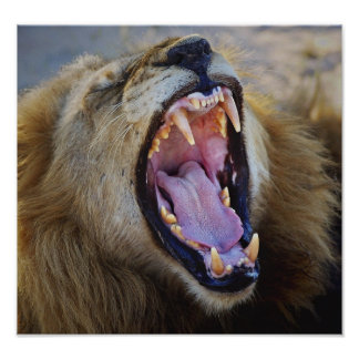 Lion Snarling wild poster, print, photograph