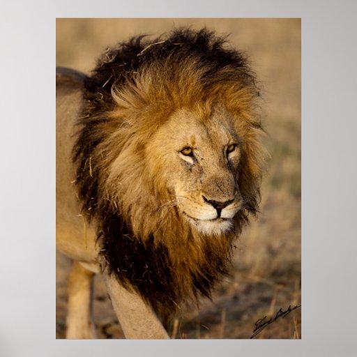 Lion Stalking Poster