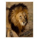 Lion Stalking Posters