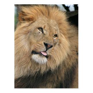 Lion Sticking Out Tongue Postcard