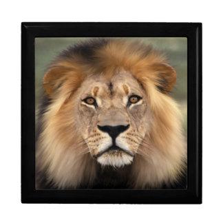 Lion - The King of The Jungle Keepsake Box