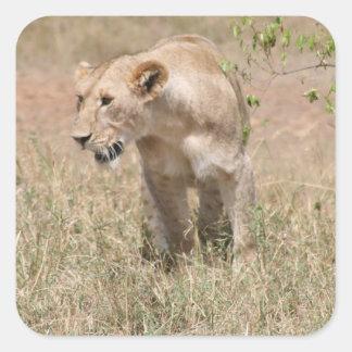 lion walk square sticker