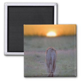 Lion walking 2 inch square magnet