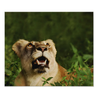Lion wild animal safari posters, prints, images,