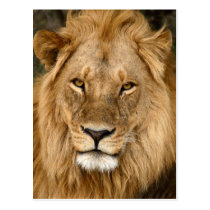 Lion With Great Mane Postcard
