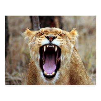 Lion yawning postcard