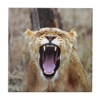 Lion yawning ceramic tile