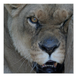Lioness 007 poster