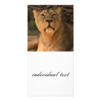 lioness 215A2 Photo Card