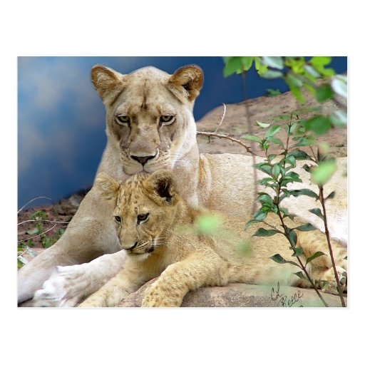 Lioness and Cub Postcard