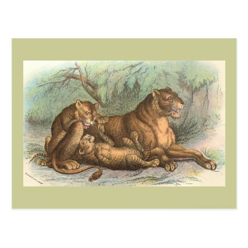 Lioness and Cubs, Felis leo Postcard