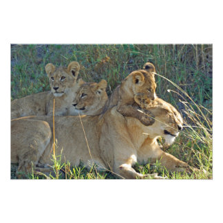 LIONESS AND THREE CUBS PHOTO PRINT