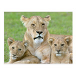 Lioness and Two Cubs, East Africa, Tanzania, Postcard