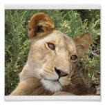 Lioness at Rest Print