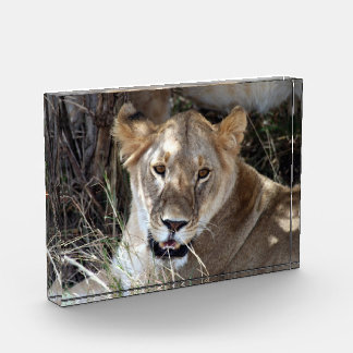 lioness acrylic award