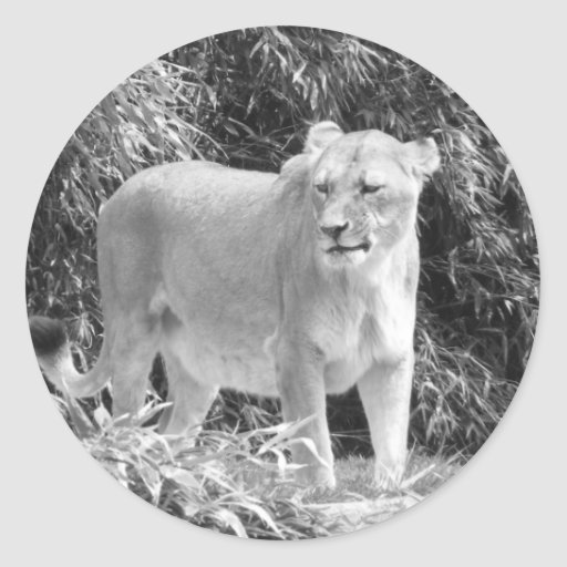 Lioness (black & white) classic round sticker