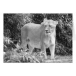 Lioness (black & white) stationery note card