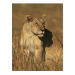 Lioness Camouflaged Post Cards