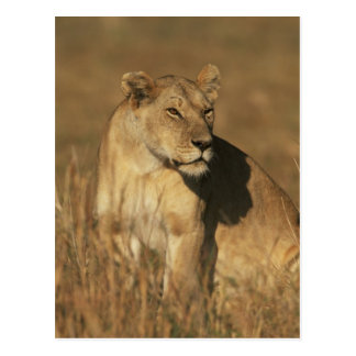 Lioness Camouflaged Postcard