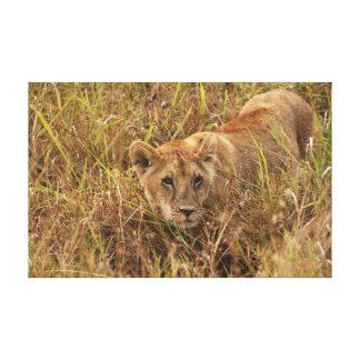 Lioness creeping through the grass impresiones en lona estiradas