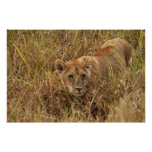 Lioness creeping through the grass poster