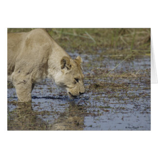 Lioness Drinking 1 Cards