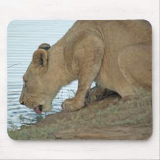 Lioness Drinking 3 Mouse Pad