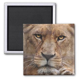 Lioness FAce Big Cat Wildlife Magnet