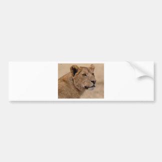 Lioness head closeup bumper sticker
