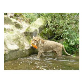 Lioness III Postcard