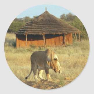 Lioness in Namibia Africa Classic Round Sticker