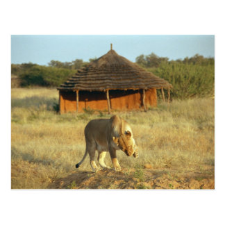 Lioness in Namibia Postcard