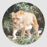 Lioness in Spring Stickers