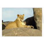 Lioness Keeping Watch Cards