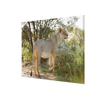 lioness lion, Panthera leo, Kgalagadi Canvas Print
