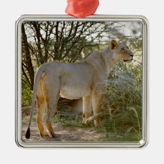 lioness lion, Panthera leo, Kgalagadi Metal Ornament