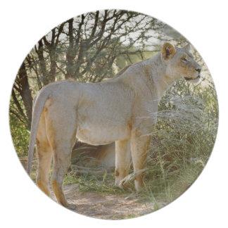 lioness lion, Panthera leo, Kgalagadi Plate