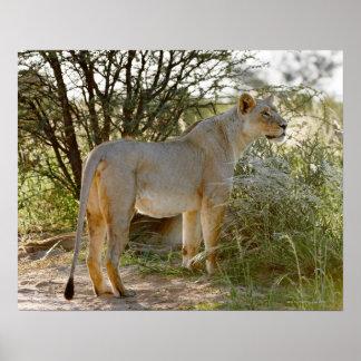 lioness lion, Panthera leo, Kgalagadi Poster