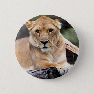 Lioness Luring Stare Pinback Button