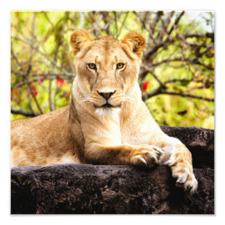 Lioness on the rocks photo print