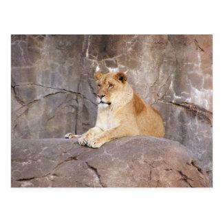 Lioness on the Rocks Postcard