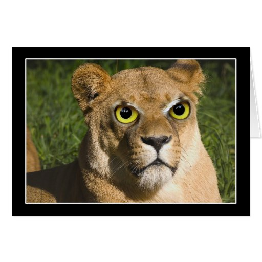 Lioness on Watch Cards