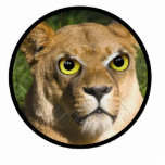 Lioness on Watch Photo Cut Outs
